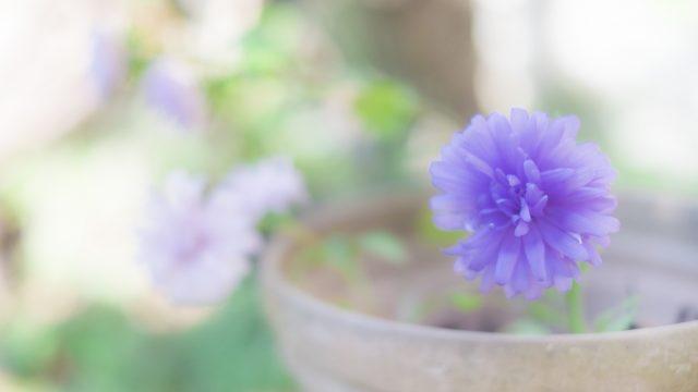 アスター 紫の花